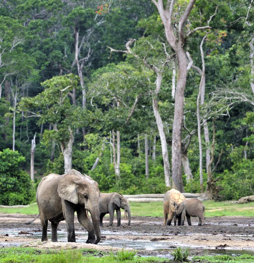 Elefantes na segunda maior floresta