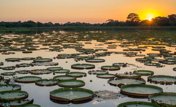 Pôr do sol em pantanal com lago e victoria regia
