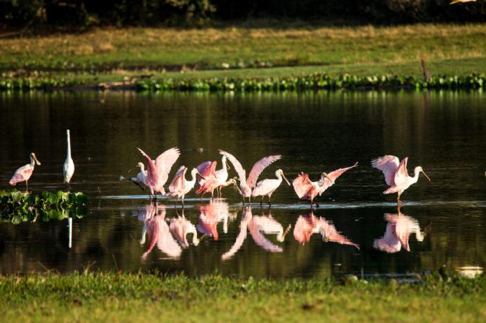 Grupo de roseate albatrozes em uma piscina no Pantanal