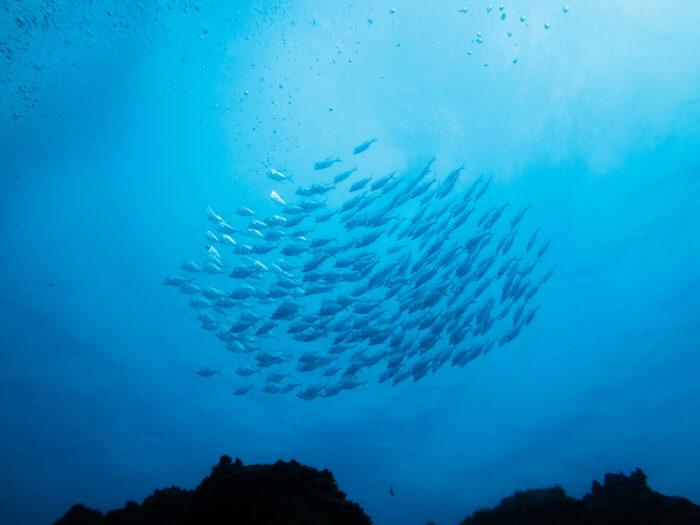 Cardume de peixe prateado acima de um recife de coral