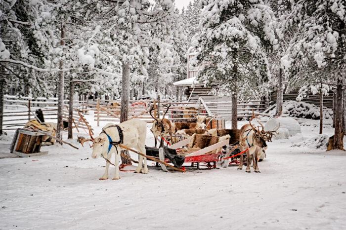 Reindeers com Rena sledges na fazenda