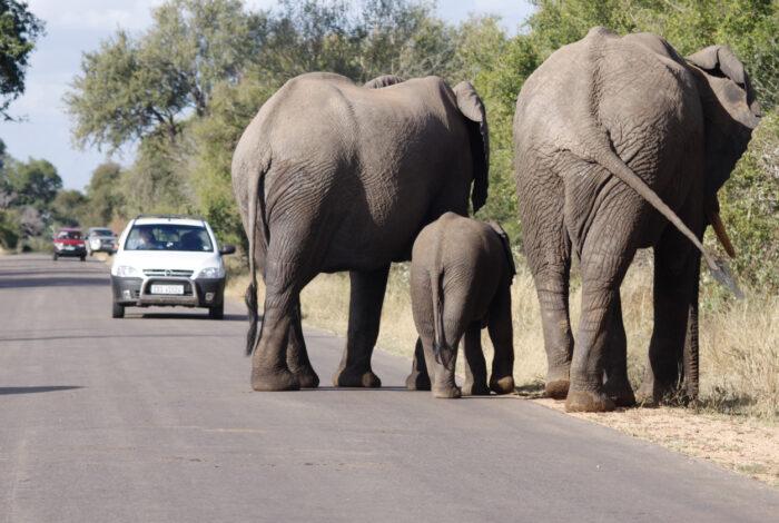 Elefantes africanos em Kruger Park, África do Su